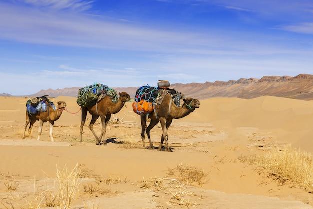 Kameelcaravan in de woestijn van de sahara