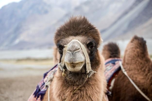 Kamelen in de nubra-vallei in de hunder-zandduinen, de deelstaat jammu en kasjmir, regio ladakh, in het noorden van india