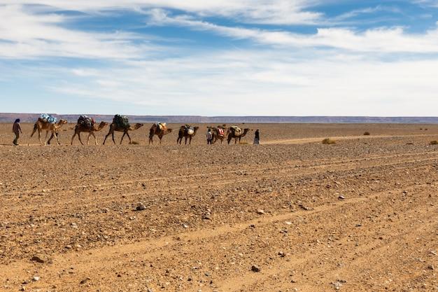 Kamelen in de sahara woestijn, marokko