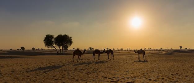 Kamelen in de woestijn