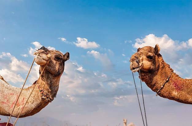 Kamelen in india