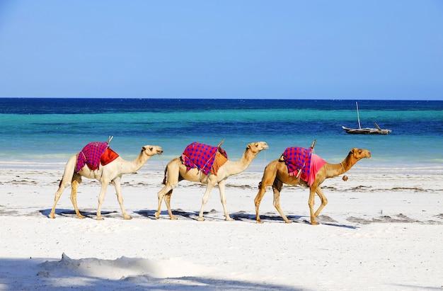 Kamelen lopen achter elkaar op diani beach, kenia