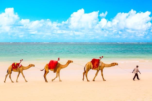 Kamelen op het afrikaanse zandstrand diani in kenia