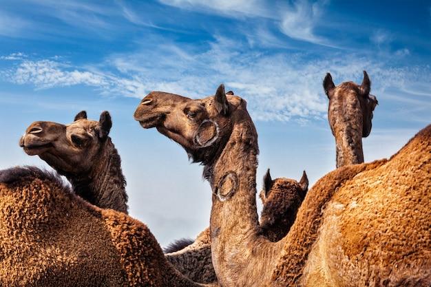 Kamelen op pushkar mela (pushkar camel fair), india