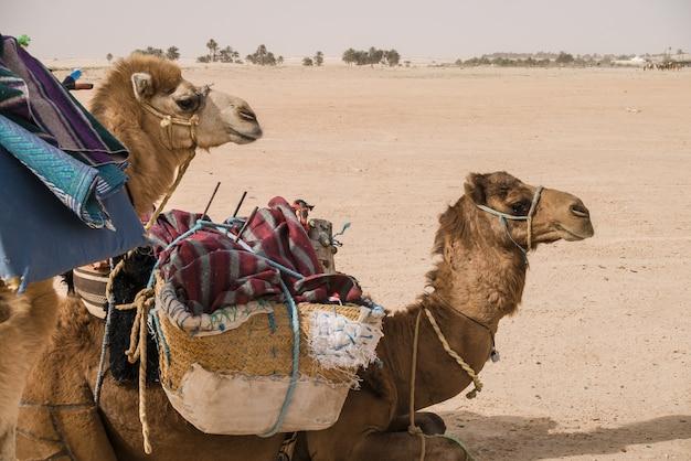 Kamelen wachten om te worden geladen in de woestijn sahara