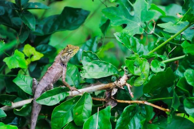 Kameleon die op boom beklimt die op jachtinsect wacht