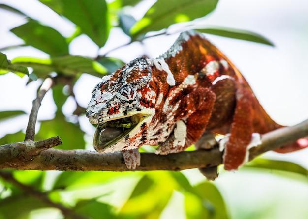 Kameleon eet insecten. detailopname. fauna van madagaskar.