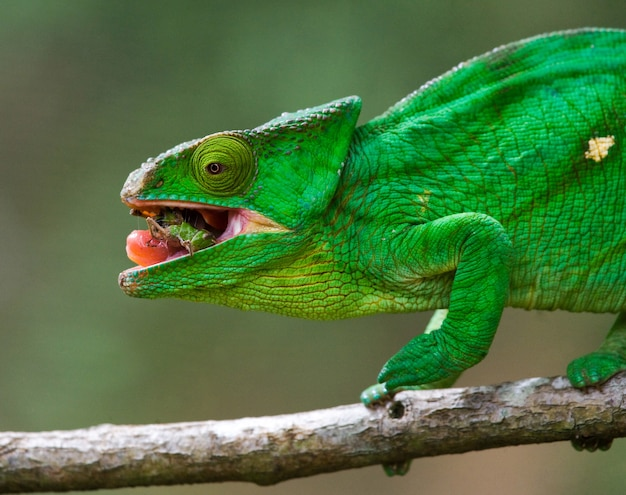 Kameleon eet insecten. detailopname. madagascar.