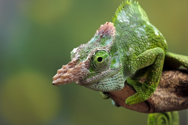 Kameleon fischer close-up op boom dier close-up