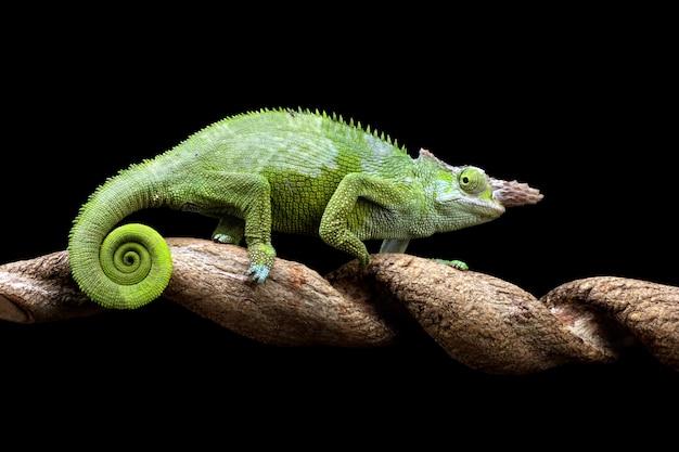 Kameleon fischer close-up op boom met zwarte achtergrond dierlijke close-up
