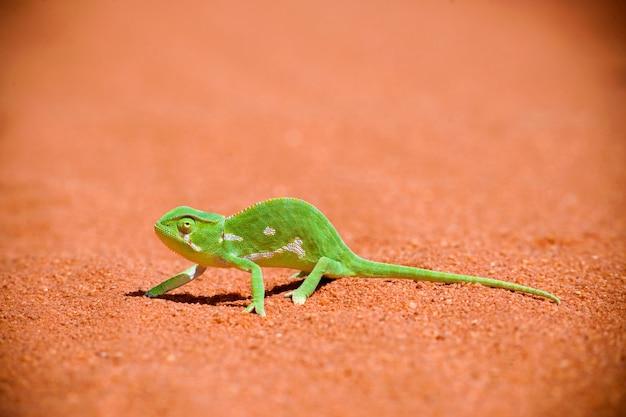 Kameleon in het zand
