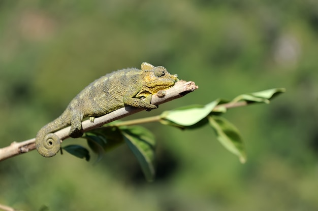 Kameleon loopt op een boomtak