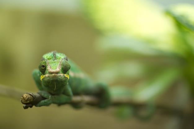Kameleon met zijn ene oog naar de zijkant kijkend