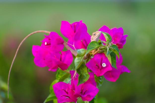Kameleon op paarse bougainvillea