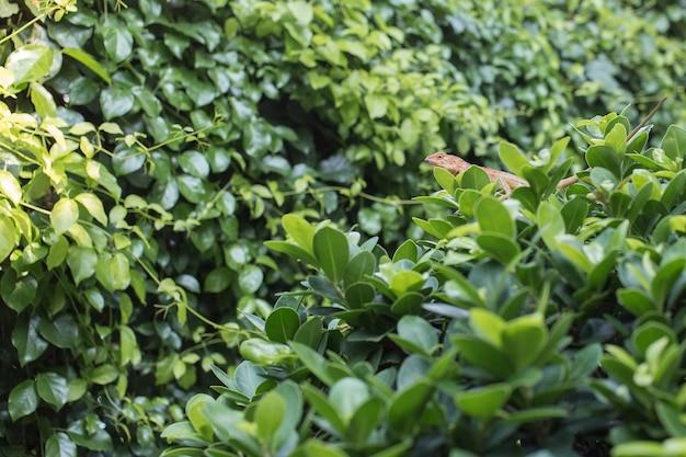 Kameleon zit aan de boom die vol met groen blad staat als groene natuurlijke achtergrond.
