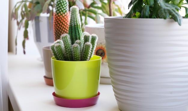 Kamer bloemen op de vensterbank. cactussen zijn in een pot op de vensterbank.