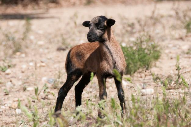Kameroen schapen lam
