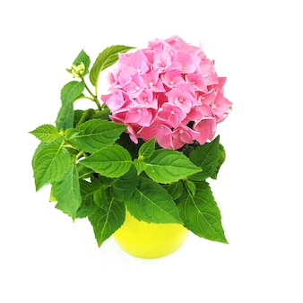 Kamerplant bloeit roze hortensia in een lichtgroene pot.