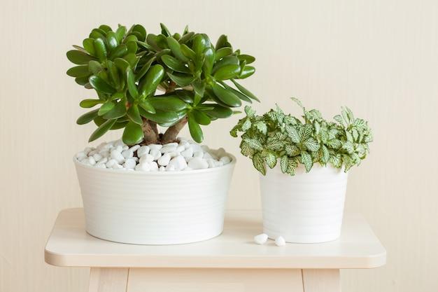 Kamerplant crassula ovata jade plant geldboom en fittonia in witte potten
