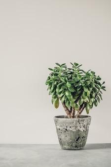 Kamerplant crassula ovata jade plant geldboom tegenover de witte muur.