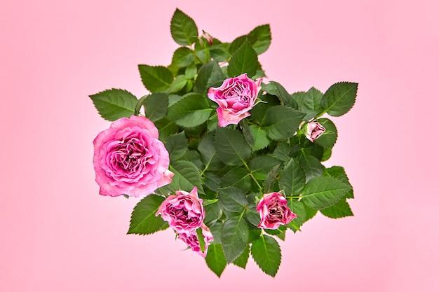 Kamerplant, roze rozen, kamerbloemen op roze achtergrond, bovenaanzicht. bloeiende struik, kamerplant met groene bladeren en roze bloemblaadjes van bloemen, close-up, selectieve aandacht
