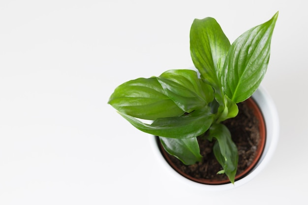 Kamerplant spathiphillum op witte achtergrond plat leggen