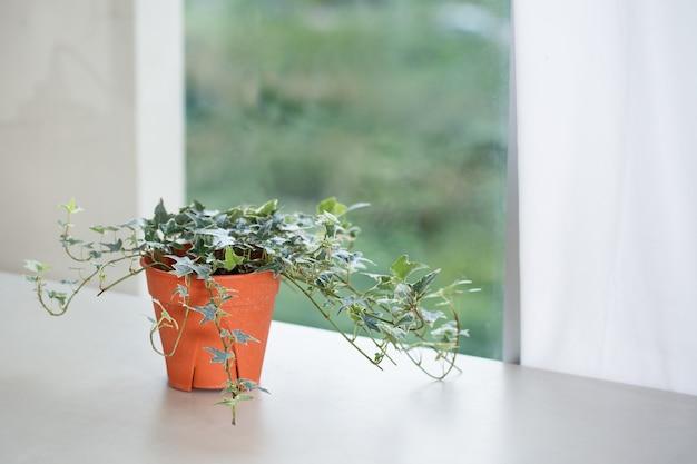 Kamerplantconcept engelse klimopplant in pot naast raam en gordijn