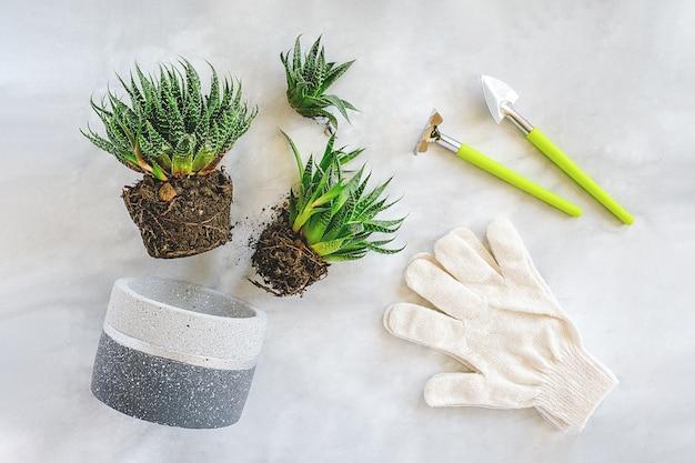 Kamerplanten en kamerplanten verplanten. spruiten van groene vetplanten, betonnen pot, handschoenen, hark en schop