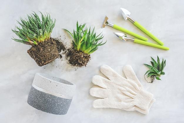 Kamerplanten en kamerplanten verplanten. spruiten van groene vetplanten, betonnen pot, witte handschoenen, hark.