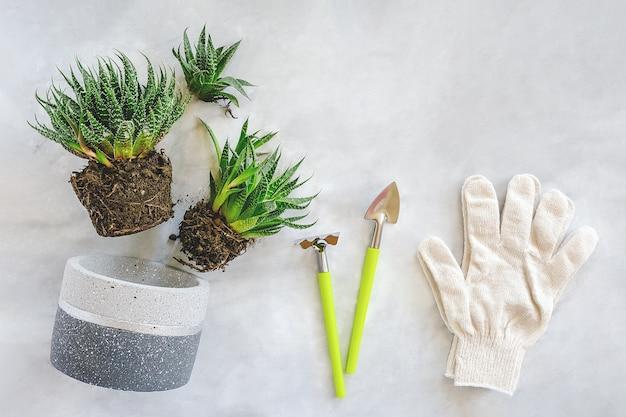Kamerplanten en kamerplanten verplanten. spruiten van vetplanten, betonnen pot, witte handschoenen, hark- en schopgereedschap