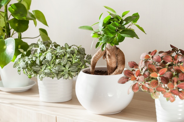 Kamerplanten ficus microcarpa ginseng en fittonia in witte bloempot