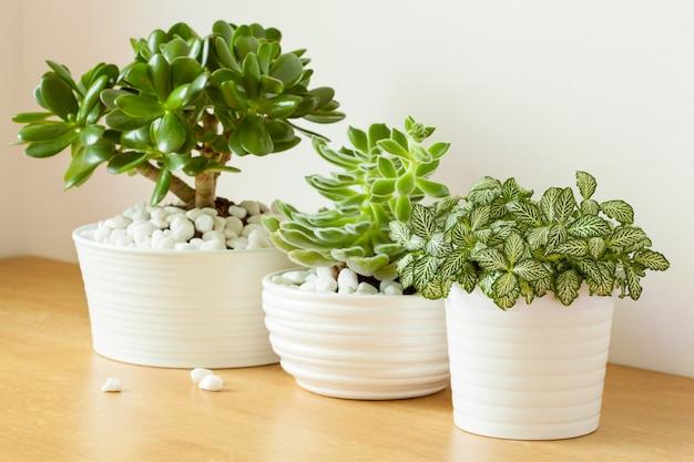 Kamerplanten fittonia albivenis, crassula ovata, echeveria in witte potten
