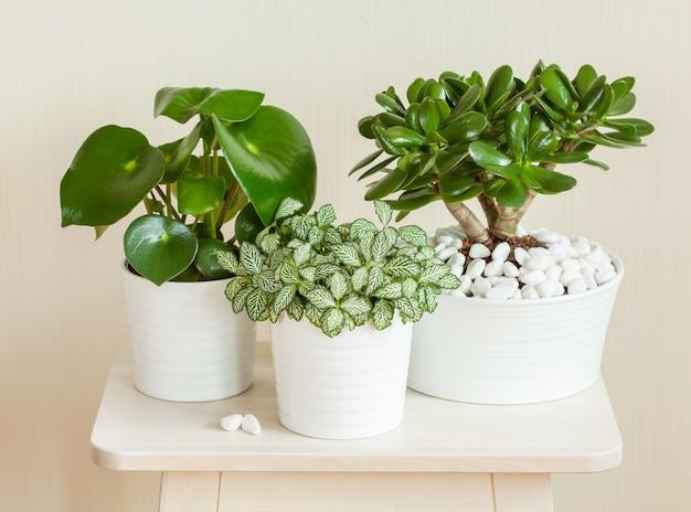 Kamerplanten fittonia albivenis, crassula ovata, peperomia in witte potten