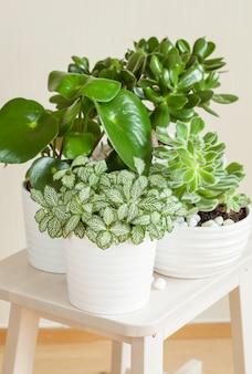 Kamerplanten fittonia albivenis, peperomia, crassula ovata, echeveria in witte potten