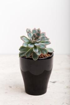 Kamerplanten. vetplanten