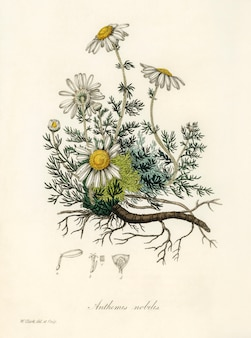 Kamille (anthemis nobilis) illustratie van medical botany (1836)