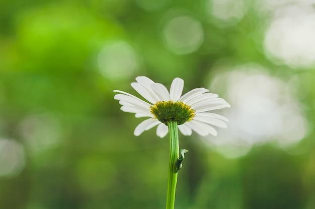 Kamille bloem leucanthemum in de tuin, selectieve aandacht, wazig bokeh achtergrond, onderaanzicht