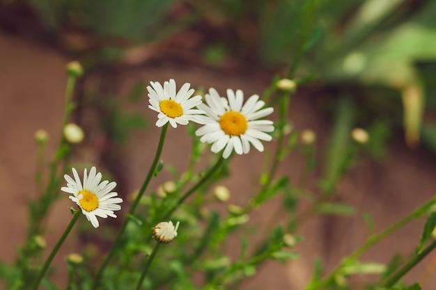 Kamille bloem leucanthemum in de tuin, selectieve aandacht, wazig bokeh achtergrond.