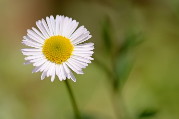 Kamille bloem
