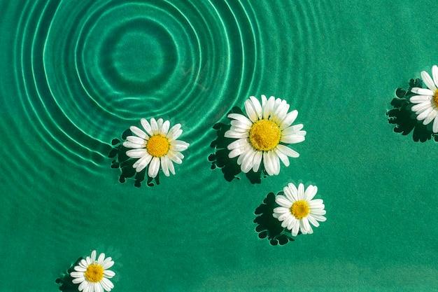 Kamille bloemen op een aquatische groene achtergrond onder zonlicht. bovenaanzicht, plat gelegd.