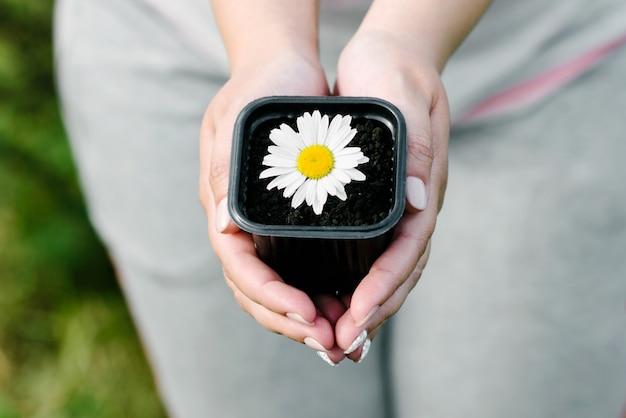 Kamille in een bloempot