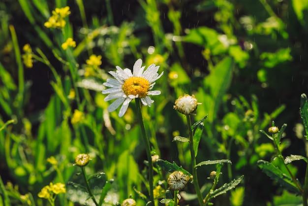 Kamille in regenval close-up. daisy in zware regen in macro. marguerite in stortbui. natte druppels op mooie bloem. rijk levendig groen gras in druppels.