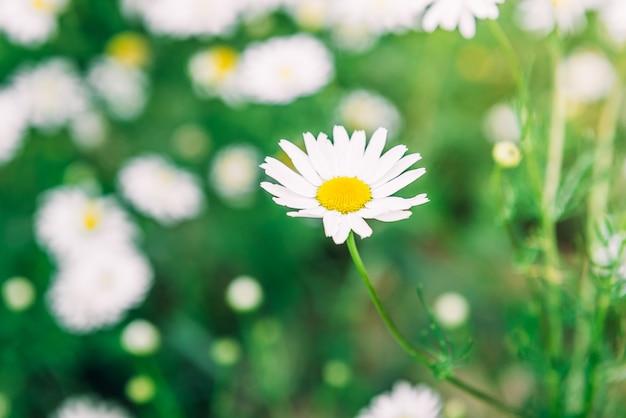 Kamille veld bloemen. mooie zomerse natuurscène met bloeiende medische chamomilles in zonnevlam. kruiden bloemen