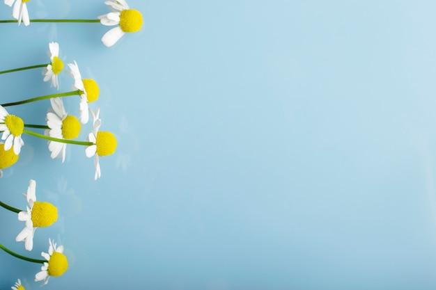Kamillebloemen op een blauwe achtergrond.