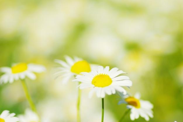Kamillebloemen op een veld