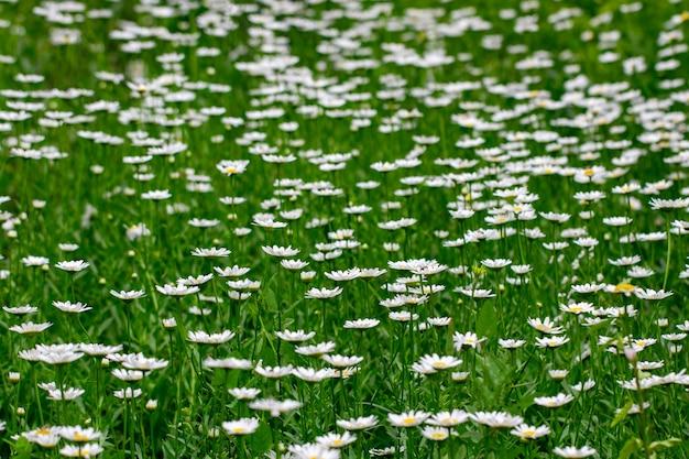 Kamillebloemen op een weide.