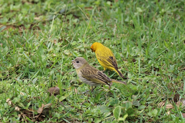 Kanarie vogels