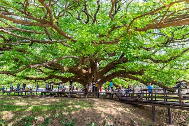 Kanchanaburi, thailand giant rain tree (chamchuri tree)