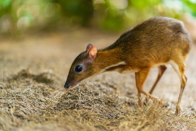Kanchil is een geweldig schattig babyhert uit de tropen. het muishert is een van de meest bijzondere dieren. evenhoevige muis.