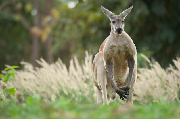 Kangaroo op grasgebied